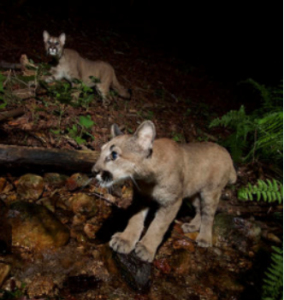 WILD ST. HELENA: Living with Lions