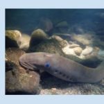 WILD ST. HELENA: Lampreys